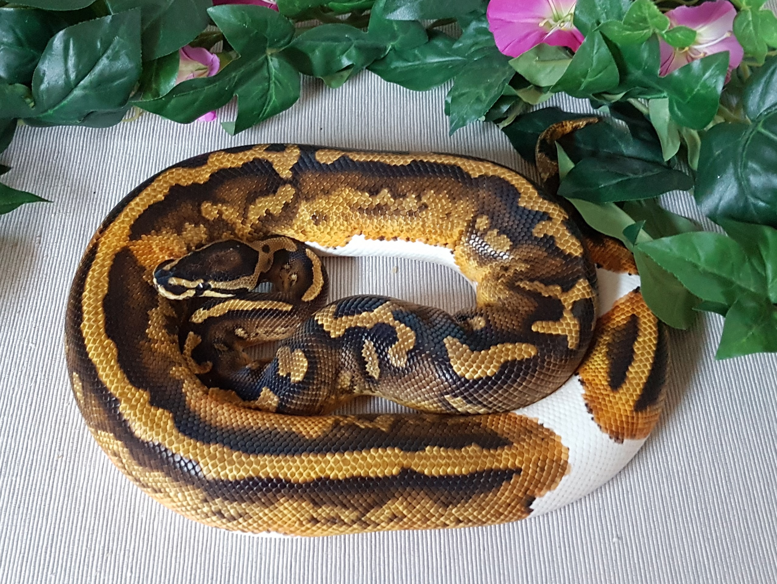 Yellowbelly Piebald